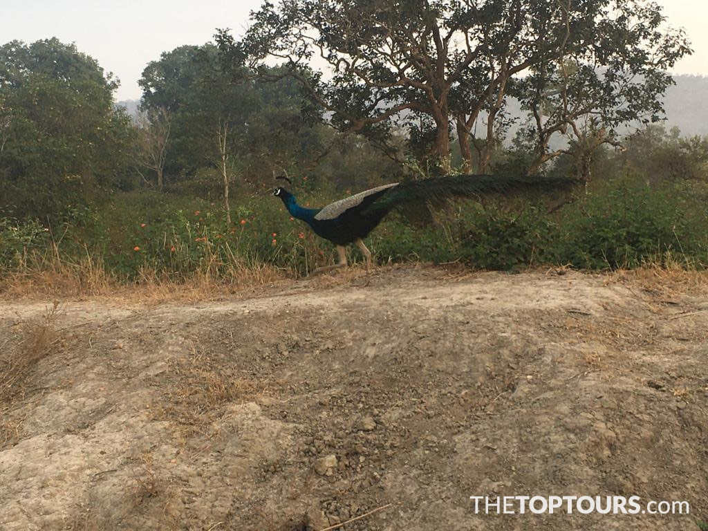Beautiful Peacock in Bandipur National Park, Karnataka