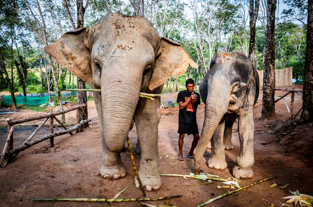 Visit The Majestic Creatures At Phuket Elephant Sanctuary - Best Place to Vist in Phuket