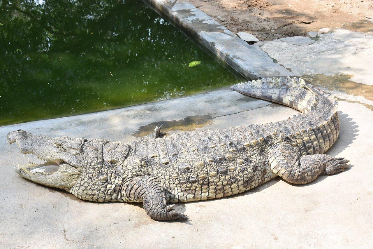 Must Visit Park in Coimbatore-Amaravati Sagar Crocodile Farm