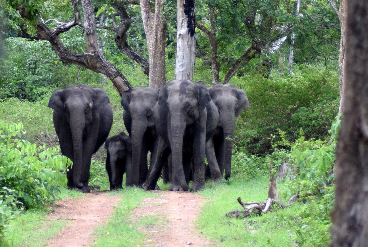 Elephant Safari at Bandipur National Park
