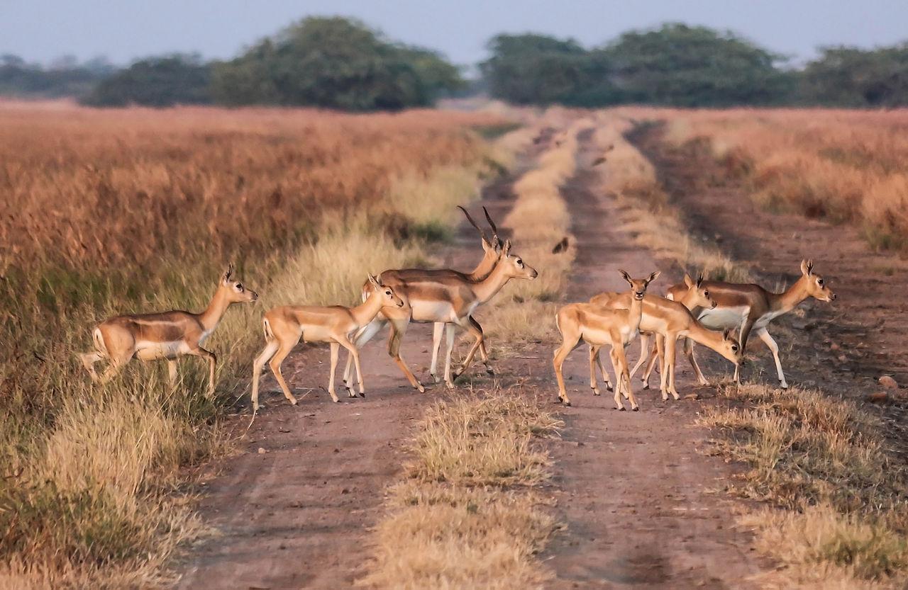 Blackbuck National Park in Bhavnagar District Gujarat