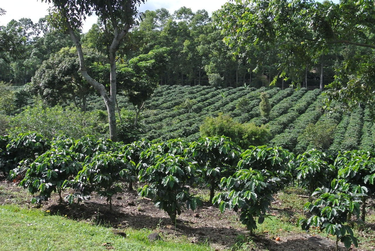 Amazing Coffee Farm in Hawaii-Buddha's Cup