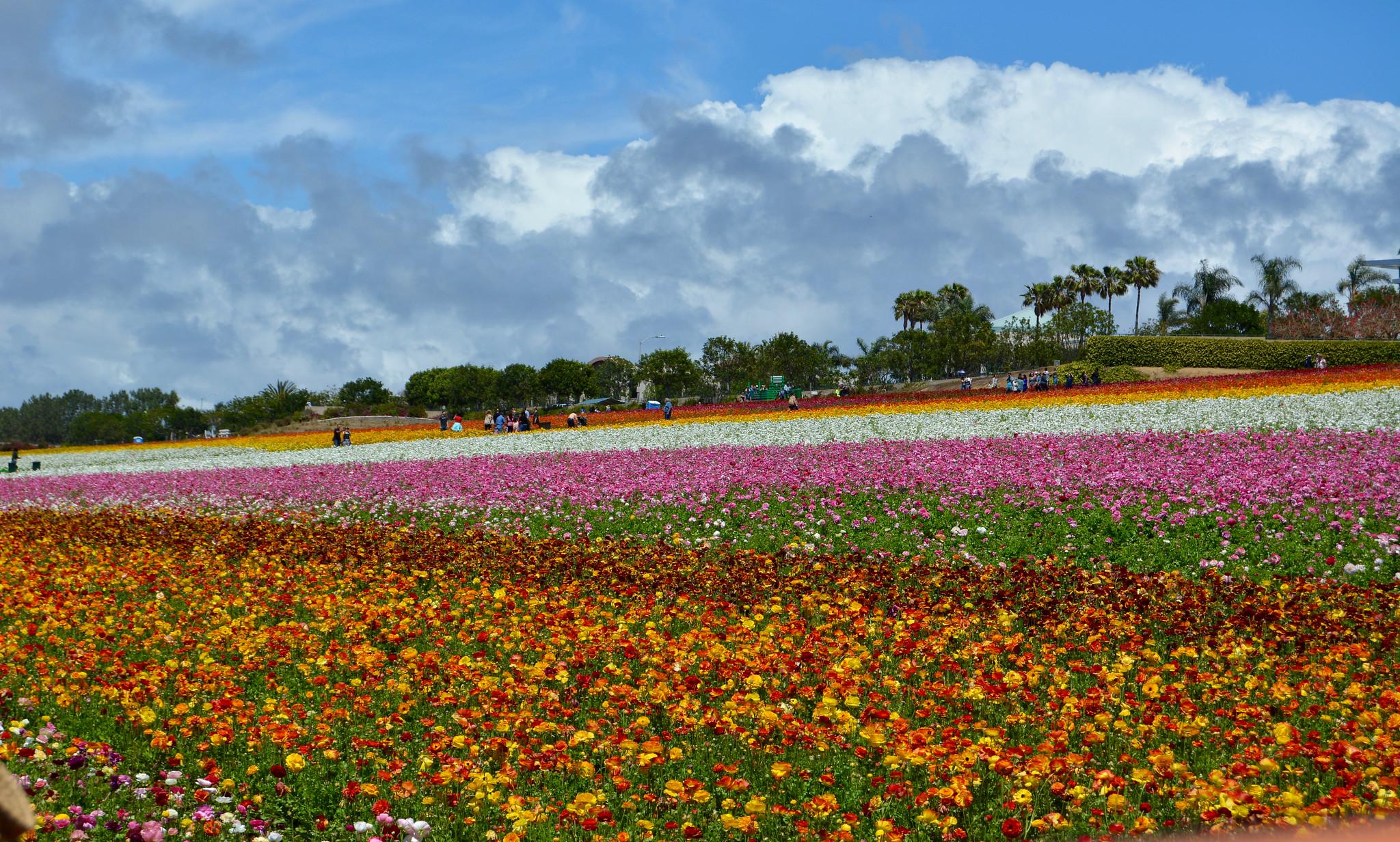 Amazing Destination to Visit In California-Carlsbad Flower Fields