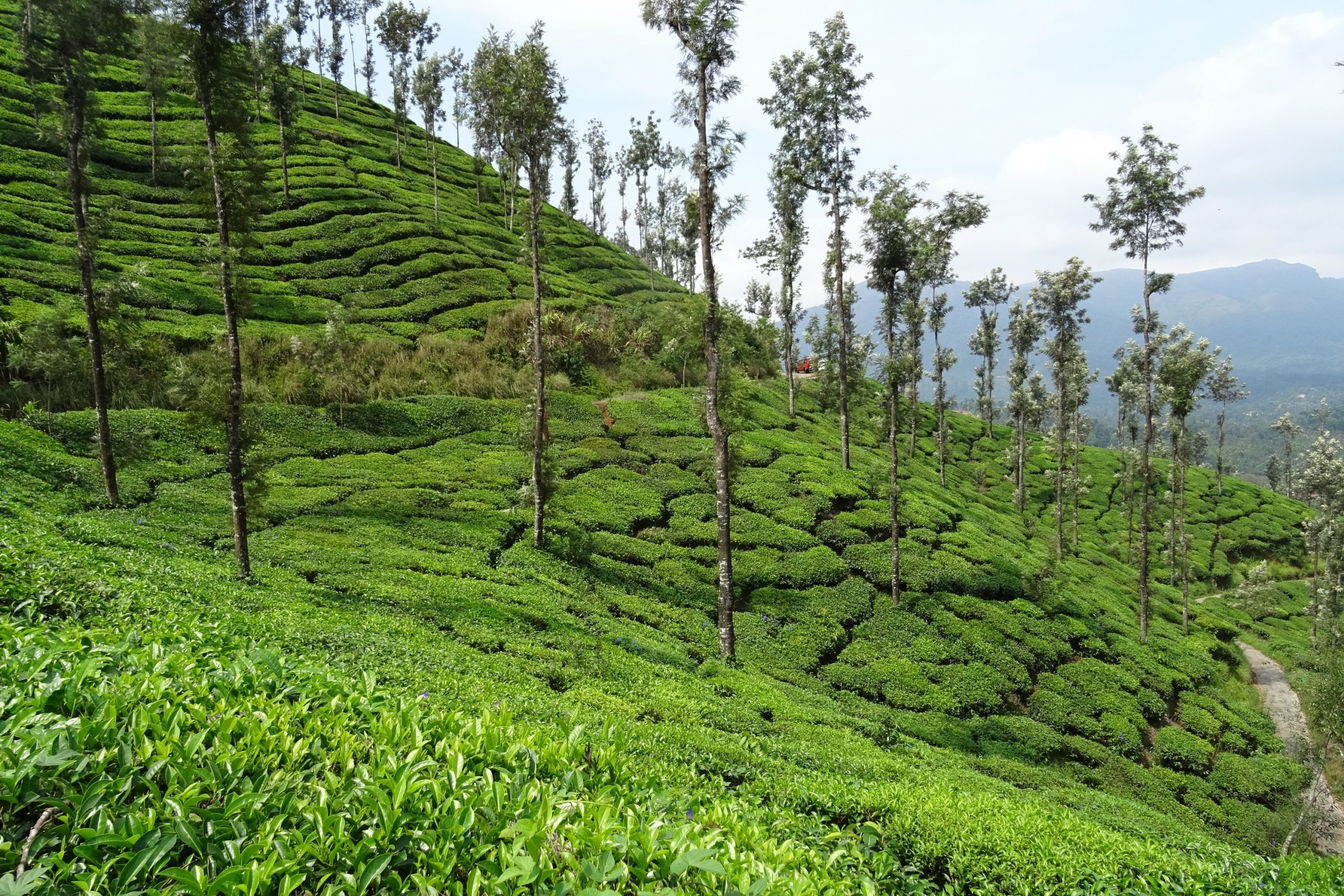 Coffee Plantations - Amazing Places To Visit In Chikmagalur