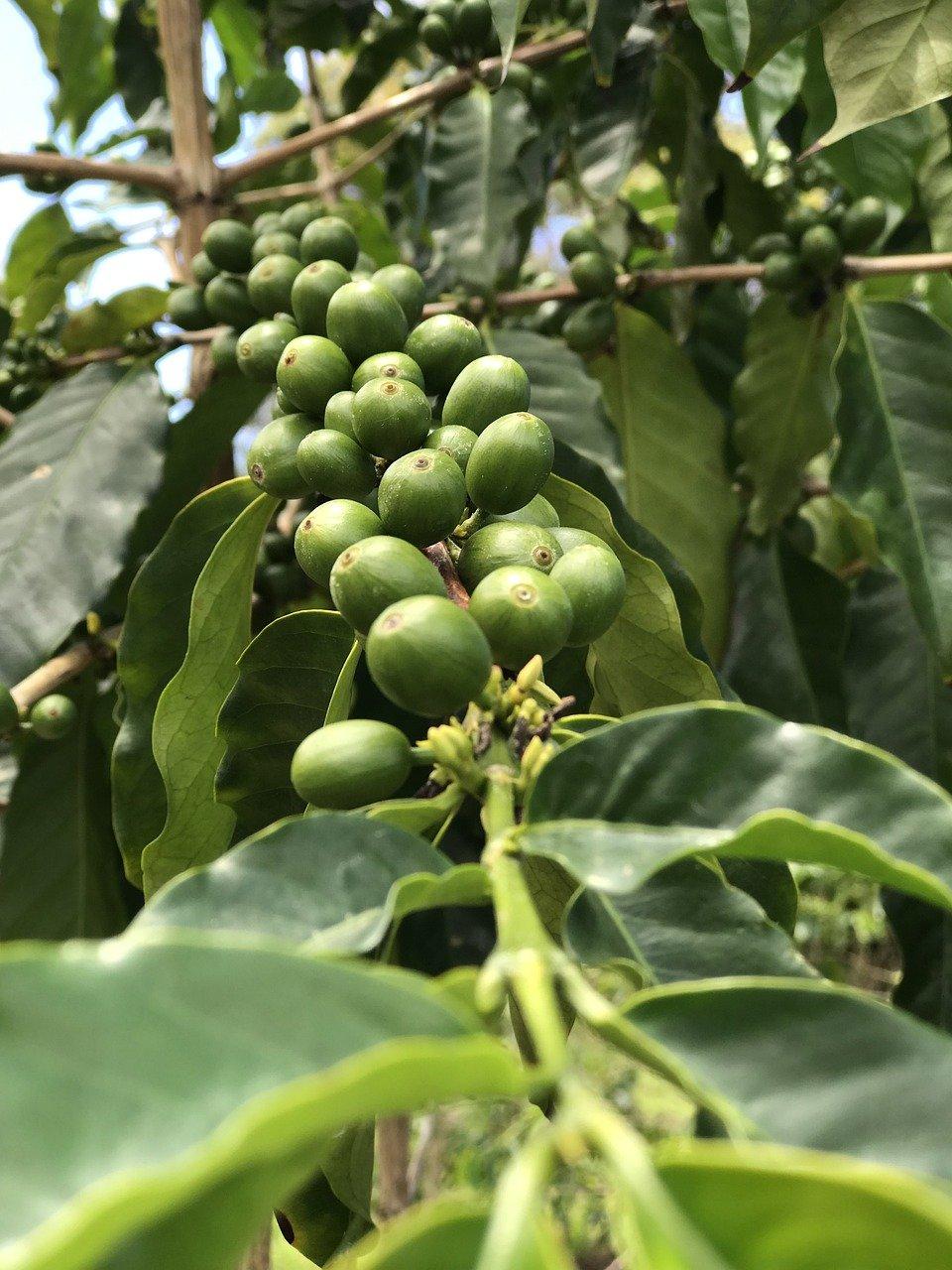 Top Coffee Farm in Hawaii-Hula Daddy Kona Coffee