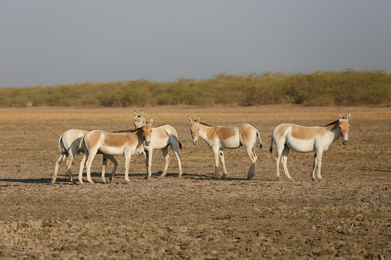 Place to See Near Great Rann of Kutch-Indian Wild Ass Sanctuary