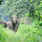 Elephant - Jaldapara National Park