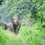 Elephant - Jaldapara National Park