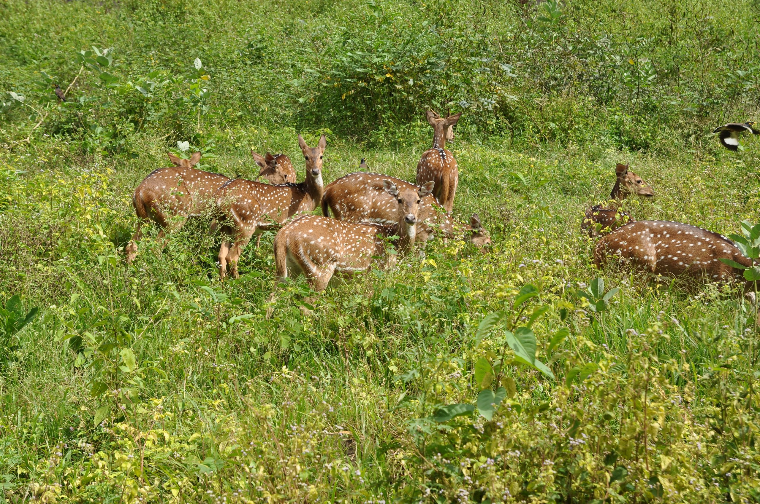 Major Attractions of Valmiki Tiger Reserve-Deers