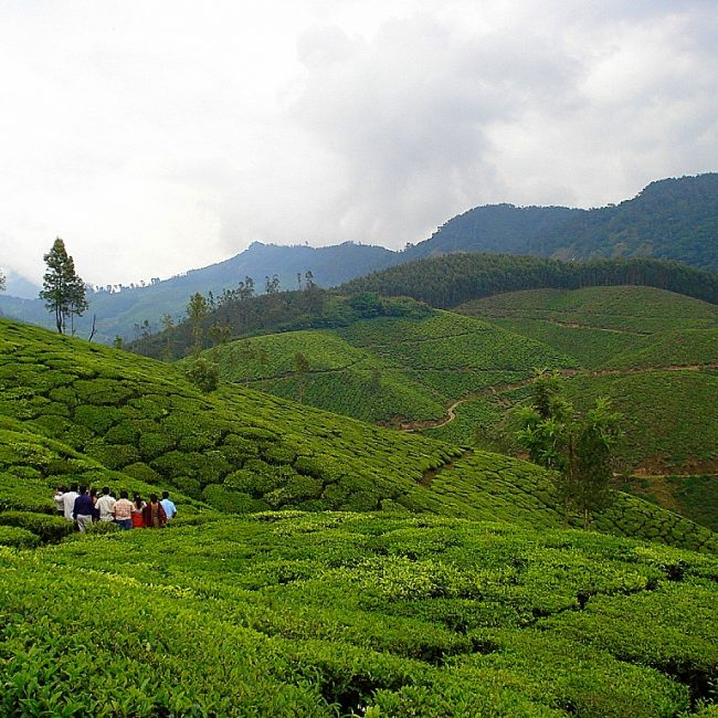 Munnar - Weekend Getaways Within 350 km of Wayanad