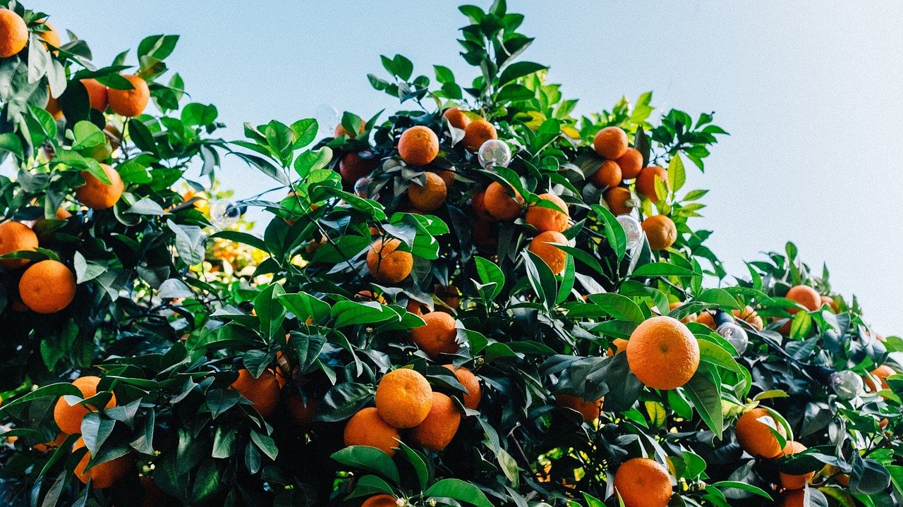 Best Weekend Destination from Amravati in Maharashtra-Orange Orchards,Nagpur