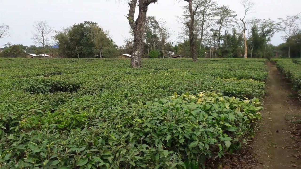 Top Sightseeing Place in Dibrugarh-Naharkatia, Tea Gardens