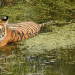 Pilibhit Tiger Reserve Travel Guide