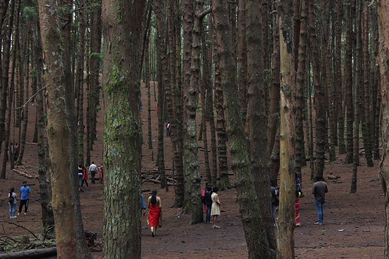 Top Trekking Destination In Tamil Nadu-Pine Forest Trek, Kodaikanal
