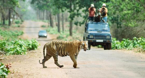 Tiger Safaris in Tadoba