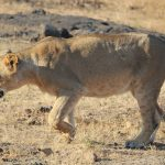Visit Gir National Park or Sasan Gir Wildlife Sanctuary