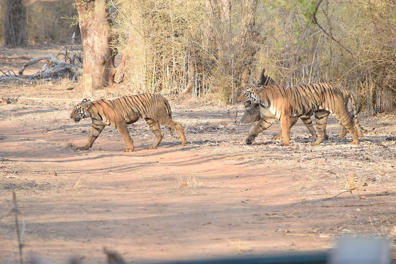 Weekend Destination from Gondia, Maharashtra-Tadoba Tiger Reserve
