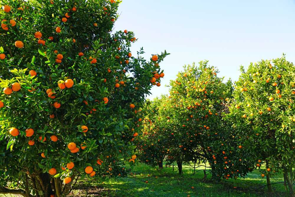Taking Some Photos In The Beautiful Orange Orchards