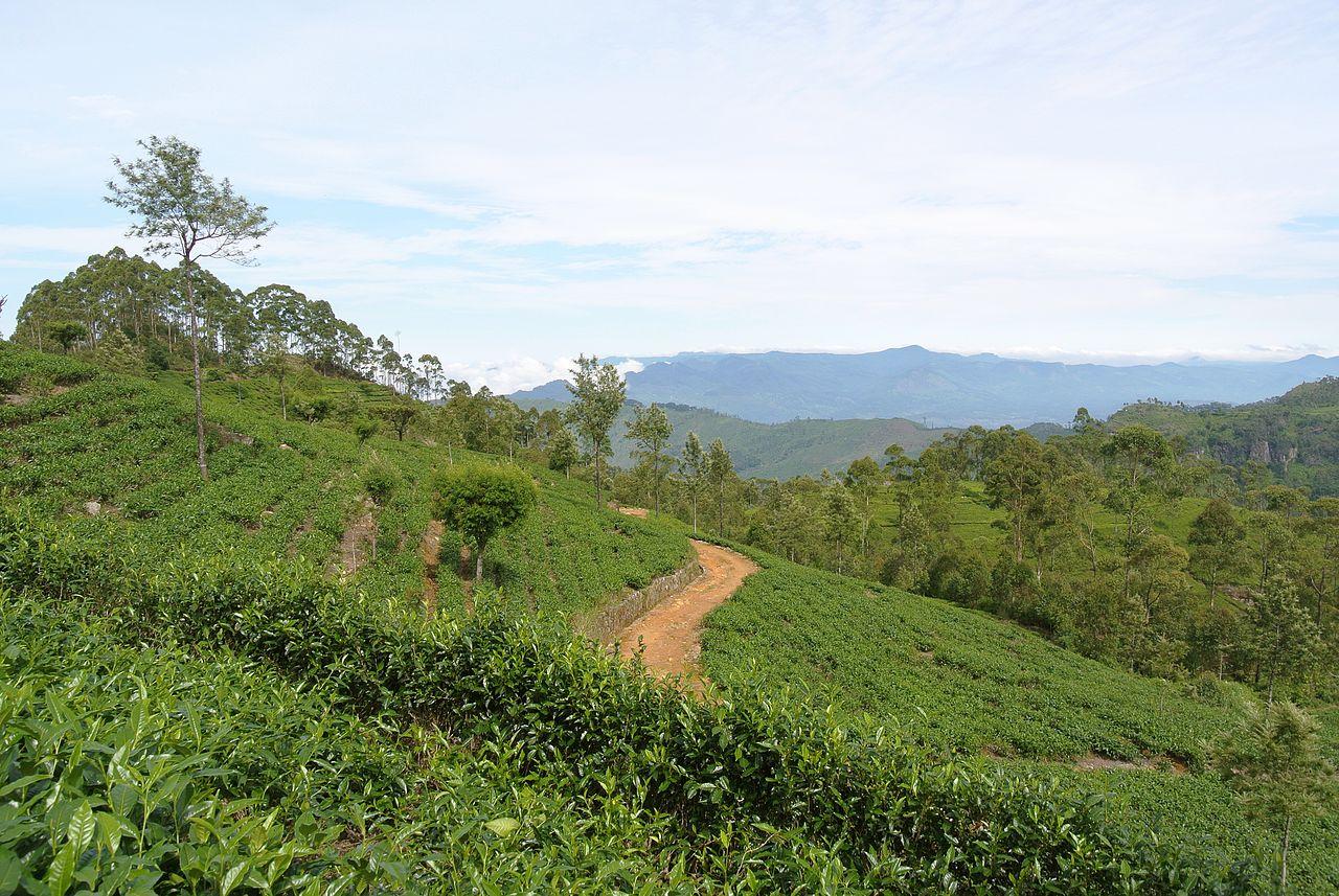 Tea-Lesser Known Facts About Sri Lanka