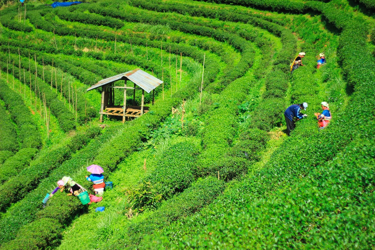 Amazing Things To Do At The Manas National Park-Visit the Village and Tea Plantations