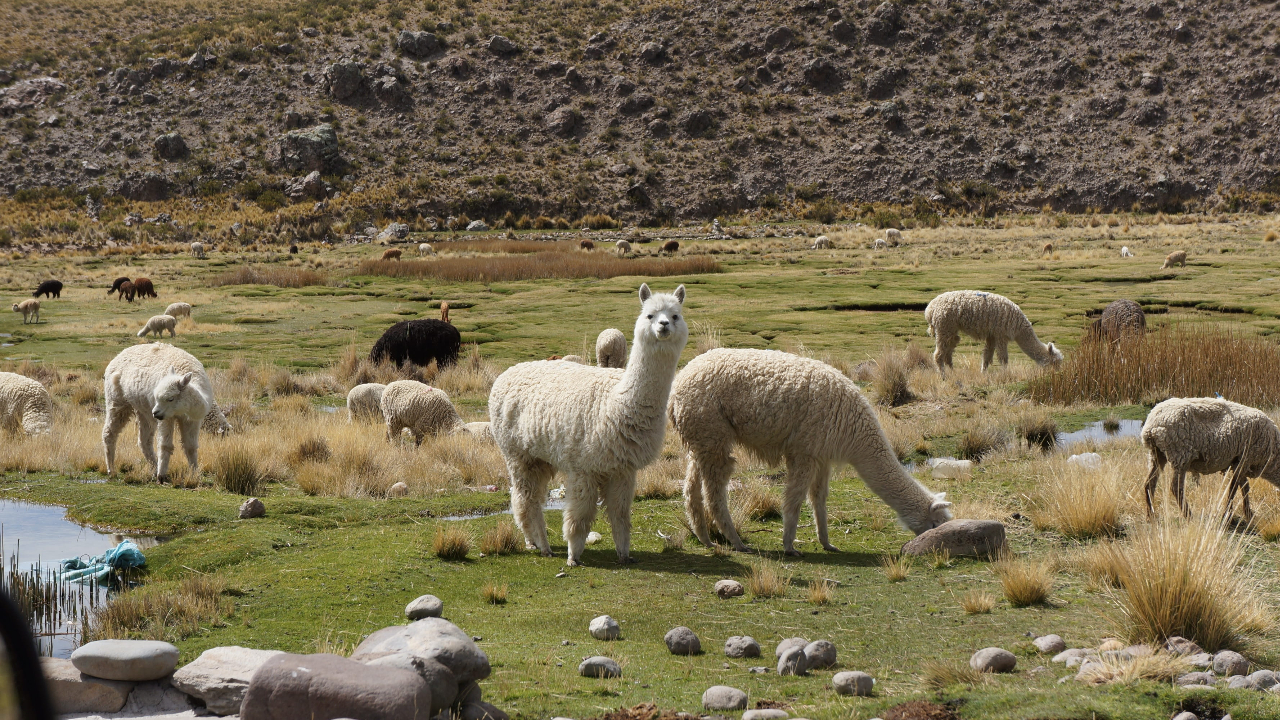Top Place to Visit in Temecula-The Alpaca Hacienda