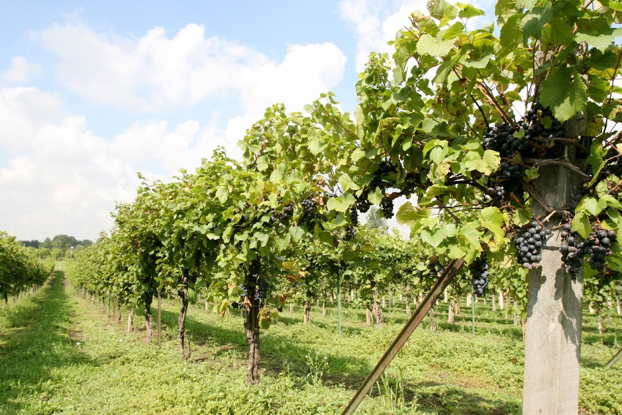 Valentino Vineyard and Winery - Popular Winery and Vineyard to Visit In Illinois