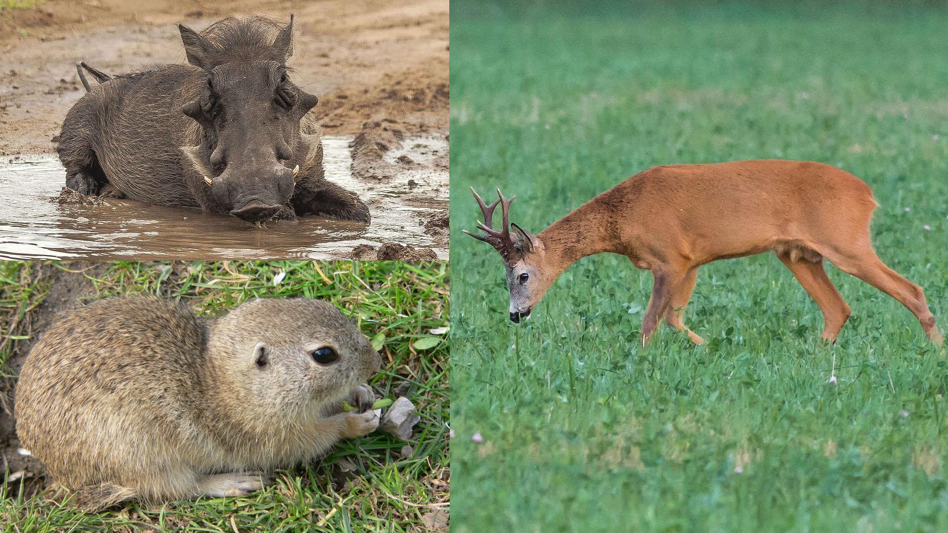 Wild Animal Life In Estonia