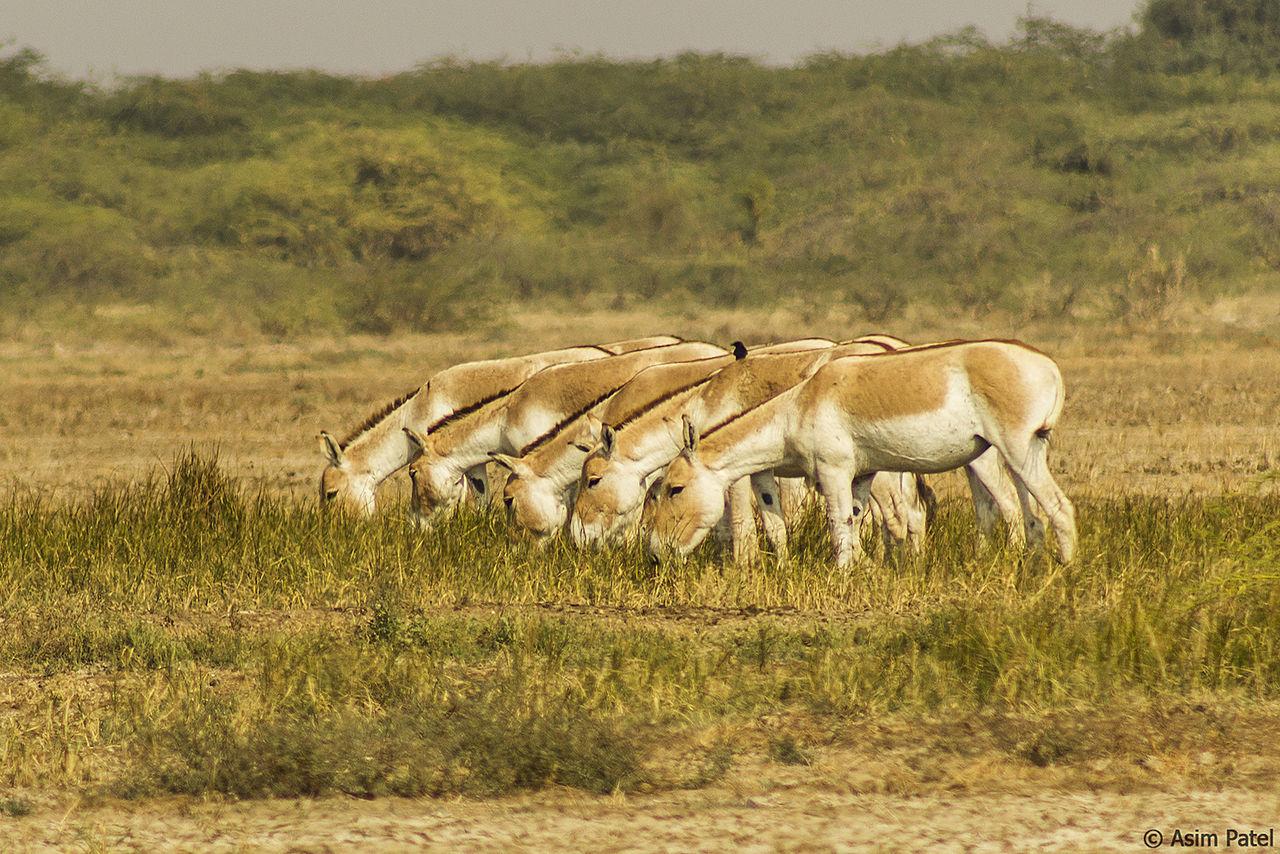Best Weekend Destination from Ahmedabad-Wild Ass Sanctuary (Little Rann of Kutch)