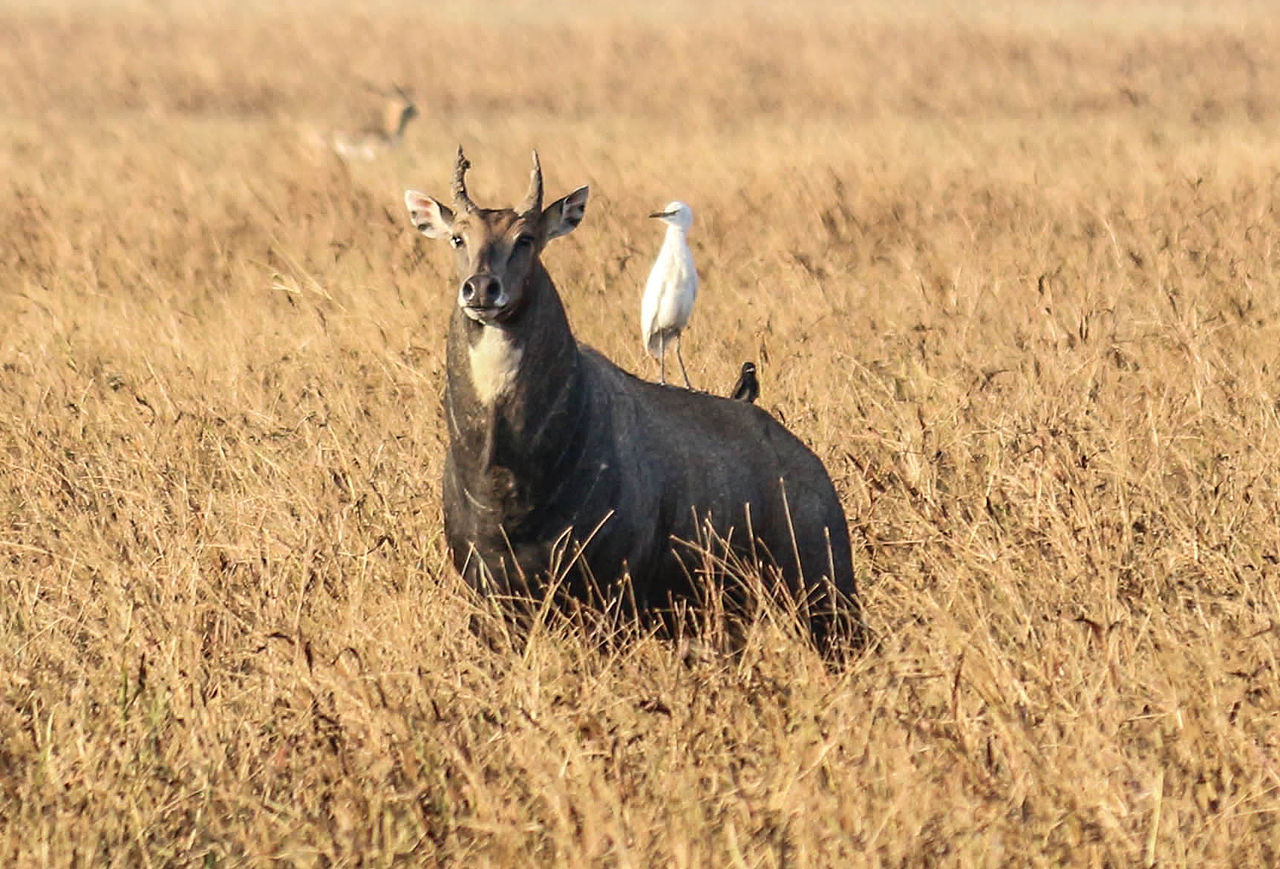Wildlife at the Blackbuck National Park