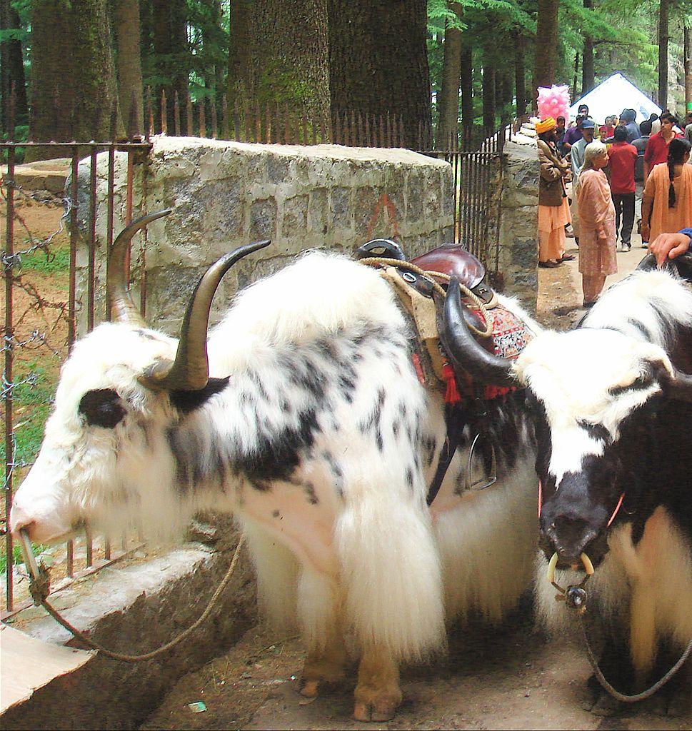 Best Destination in Gulaba-Yak Riding, Himachal Pradesh